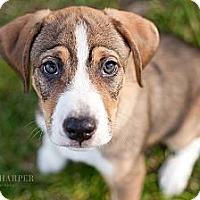 Adopt A Pet :: Parker - Reisterstown, MD