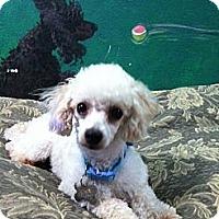 Adopt A Pet :: violet - Goleta, CA