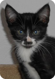 Domestic Shorthair Kitten for adoption in North Highlands, California - Reon