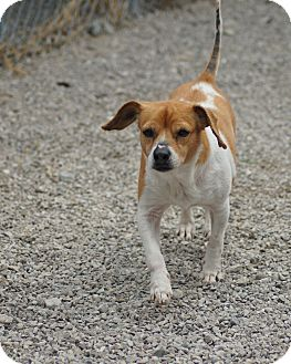 Beagle Dog for adoption in Port Clinton, Ohio - Mina