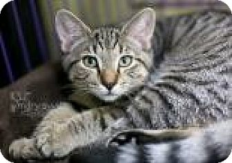 Domestic Shorthair Cat for adoption in Reisterstown, Maryland - Pippen