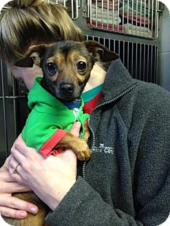 Chihuahua/Dachshund Mix Dog for adoption in Franklin, Indiana - Rudy