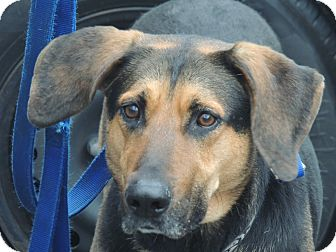 Shepherd (Unknown Type)/Hound (Unknown Type) Mix Dog for adoption in Spring Valley, New York - Buster
