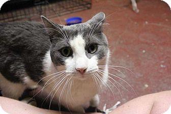 Domestic Mediumhair Cat for adoption in Central Islip, New York - Mash Bowl