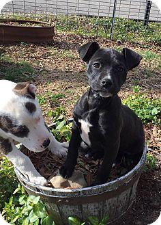 Pit Bull Terrier/Labrador Retriever Mix Puppy for adoption in Boston, Massachusetts - Sophia