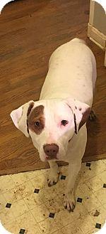 Labrador Retriever/Pit Bull Terrier Mix Dog for adoption in ST LOUIS, Missouri - Delta
