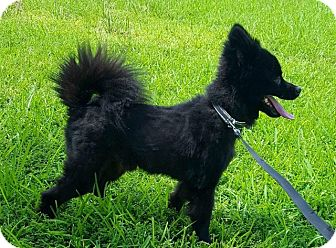 Pomeranian Dog for adoption in Spring, Texas - Dennis the menace