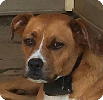 Boxer Mix Dog for adoption in Washington, D.C. - Trapper