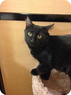 Domestic Longhair Kitten for adoption in Voorhees, New Jersey - Boo-PetSmart Marlton