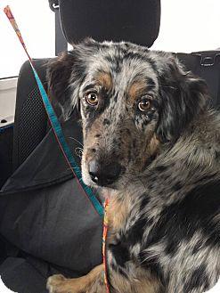 Australian Shepherd Dog for adoption in Sugar Grove, Illinois - BlueBelle