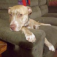 Adopt A Pet :: Goldie - New Kensington, PA