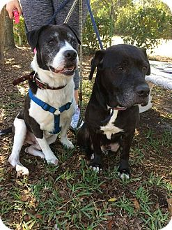Labrador Retriever/Mixed Breed (Medium) Mix Dog for adoption in Jacksonville, Florida - Daisy
