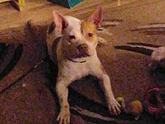 Hound (Unknown Type)/Pit Bull Terrier Mix Dog for adoption in Staten Island, New York - Babe - Sweet Pup!