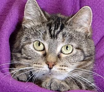 Domestic Mediumhair Cat for adoption in Renfrew, Pennsylvania - Kitty