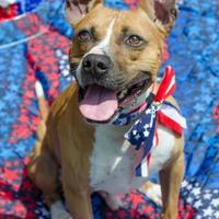 Pit Bull Terrier Mix Dog for adoption in Philadelphia, Pennsylvania - Big Boy