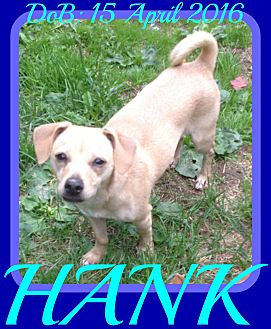 Chihuahua/Pug Mix Dog for adoption in White River Junction, Vermont - HANK