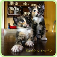 Adopt A Pet :: Trouble - Wantagh, NY