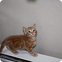 Domestic Shorthair Kitten for adoption in St. Louis, Missouri - Lansing