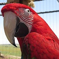Macaw for adoption in Elizabeth, Colorado - Kate (aka Buster)
