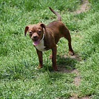 Boston Terrier Mix Dog for adoption in Herndon, Virginia - Caitlin
