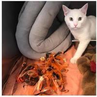 Adopt A Pet :: Sir Purrs A Lot - Memphis, TN