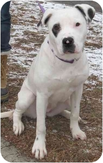 Labrador Retriever/Australian Shepherd Mix Dog for adoption in Chicago, Illinois - Miss Flo