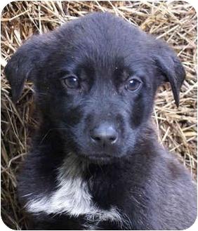 Labrador Retriever Mix Puppy for adoption in Harrisonburg, Virginia - Oakie