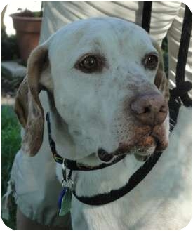 Pointer/Vizsla Mix Dog for adoption in Wood Dale, Illinois - Arlie-ADOPT PEND