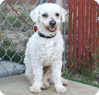 Poodle (Miniature)/Terrier (Unknown Type, Small) Mix Dog for adoption in Los Angeles, California - Opie