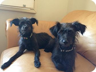 Miniature Schnauzer/Rat Terrier Mix Dog for adoption in Phoenix, Arizona - Cagney & Lacey