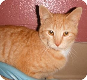 Domestic Shorthair Cat for adoption in Jackson, Michigan - Juliet