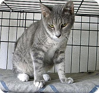 Domestic Shorthair Kitten for adoption in Miami, Florida - Bianca