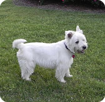 Westie, West Highland White Terrier Dog for adoption in Frisco, Texas - Oliver