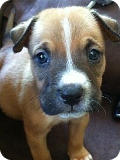 Boxer/Labrador Retriever Mix Puppy for adoption in Wappingers, New York - Bailey