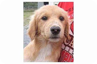 Retriever (Unknown Type) Mix Puppy for adoption in Pompton Lakes, New Jersey - Eddison