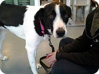 Border Collie Mix Dog for adoption in Branson, Missouri - Bonnie