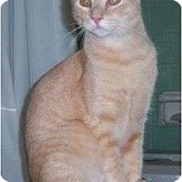 Domestic Mediumhair Cat for adoption in Cocoa, Florida - Jeffrey