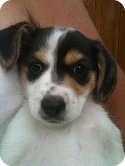 Beagle/Jack Russell Terrier Mix Puppy for adoption in PLAINFIELD, Indiana - Clementine