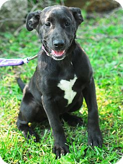 Labrador Retriever Mix Puppy for adoption in Detroit, Michigan - June-Adopted!