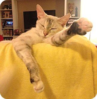 Domestic Shorthair Kitten for adoption in Beverly Hills, California - Josie