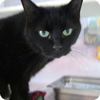 Domestic Shorthair Cat for adoption in Lyons, New York - Ruby