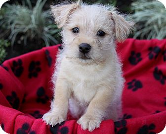 Terrier (Unknown Type, Small)/Pomeranian Mix Puppy for adoption in Newport Beach, California - DEACON