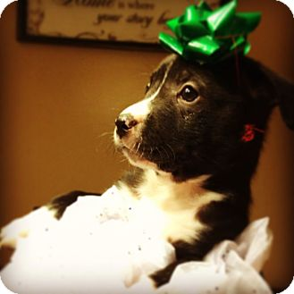 Labrador Retriever/Border Collie Mix Puppy for adoption in KITTERY, Maine - PIPER
