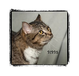 Domestic Shorthair Cat for adoption in Warren, Pennsylvania - Bibbs