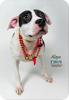 Terrier (Unknown Type, Medium) Mix Dog for adoption in Belle Chasse, Louisiana - Alaya