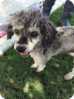 Poodle (Miniature) Mix Dog for adoption in Schertz, Texas - Benji JH