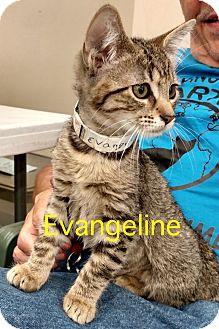 Domestic Shorthair Kitten for adoption in Warren, Ohio - Evangeline