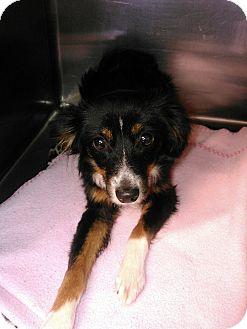 Australian Shepherd Mix Dog for adoption in Clinton, Oklahoma - Linda