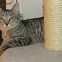 Domestic Shorthair Kitten for adoption in Tampa, Florida - Venus Roman Godess