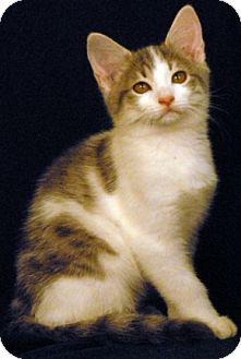 Domestic Shorthair Cat for adoption in Newland, North Carolina - Slugworth